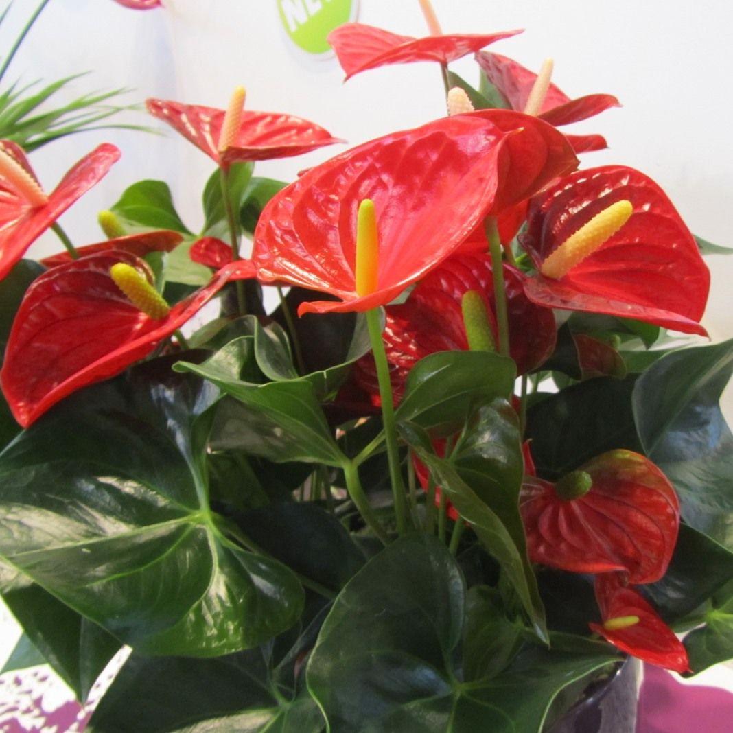 Комнатные цветы антуриум уход