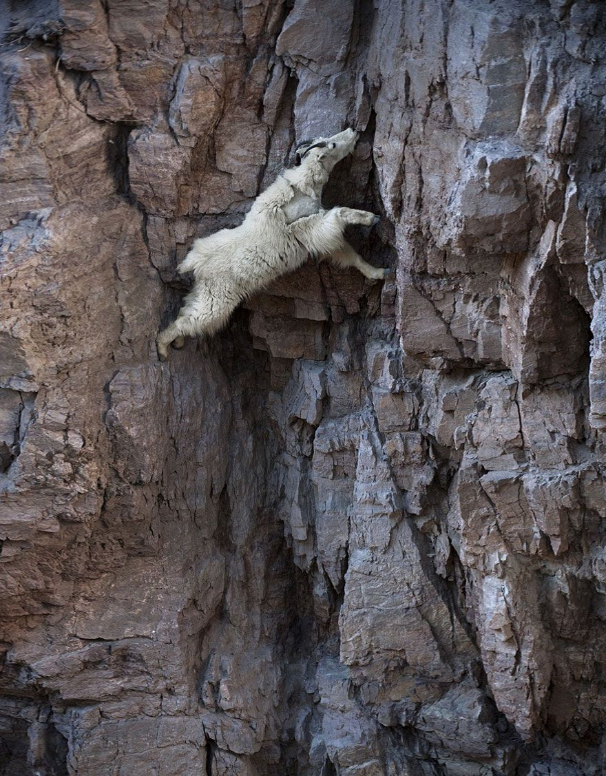 These Goats On Cliffs Don't Know What Fear Is | Bored Daddy
