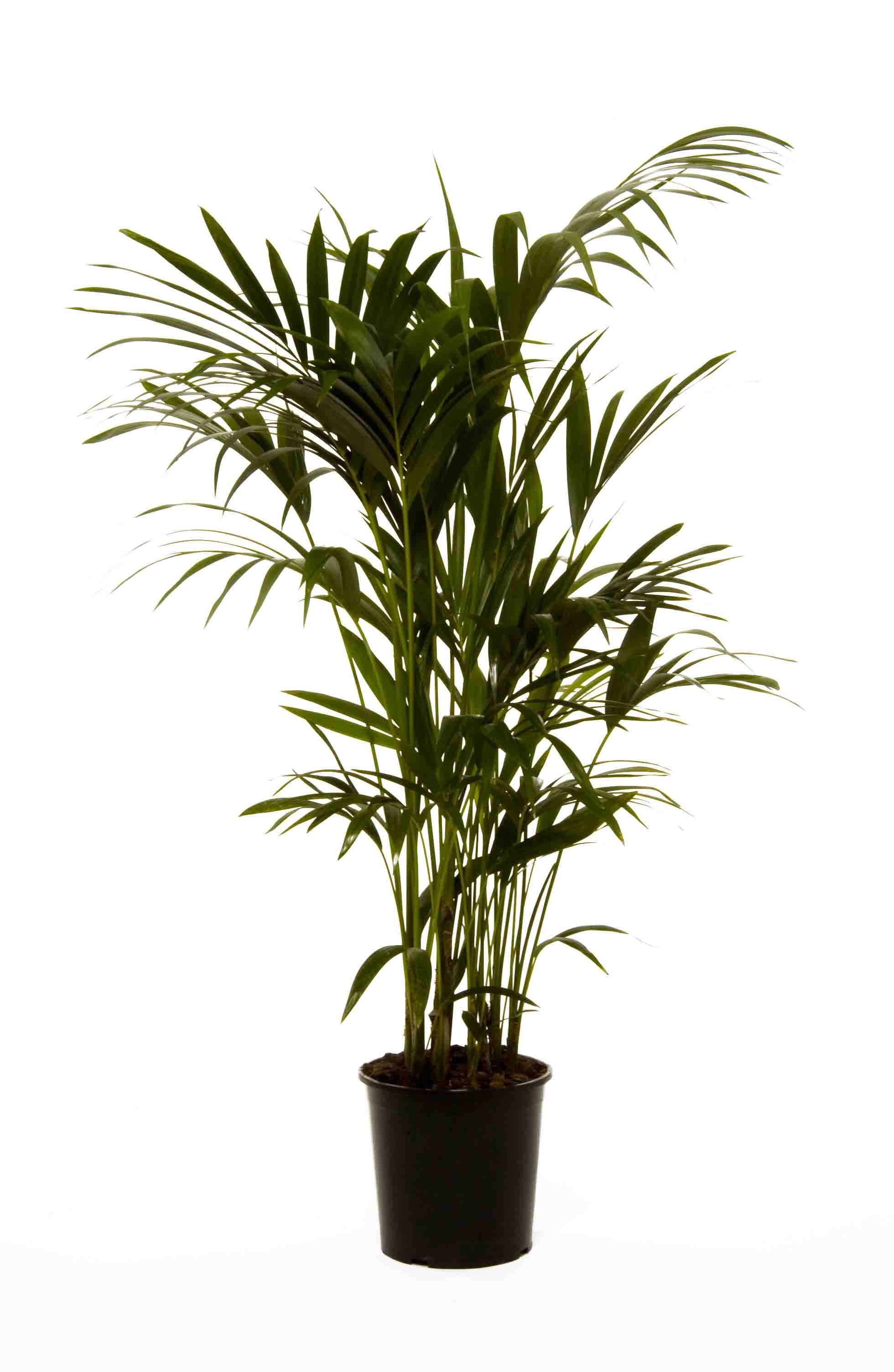kentia palm howea forsteriana gardening. Black Bedroom Furniture Sets. Home Design Ideas