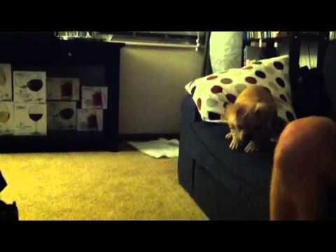 French Bulldog Puppy S Jump From The Couch Cute Frenchbulldog