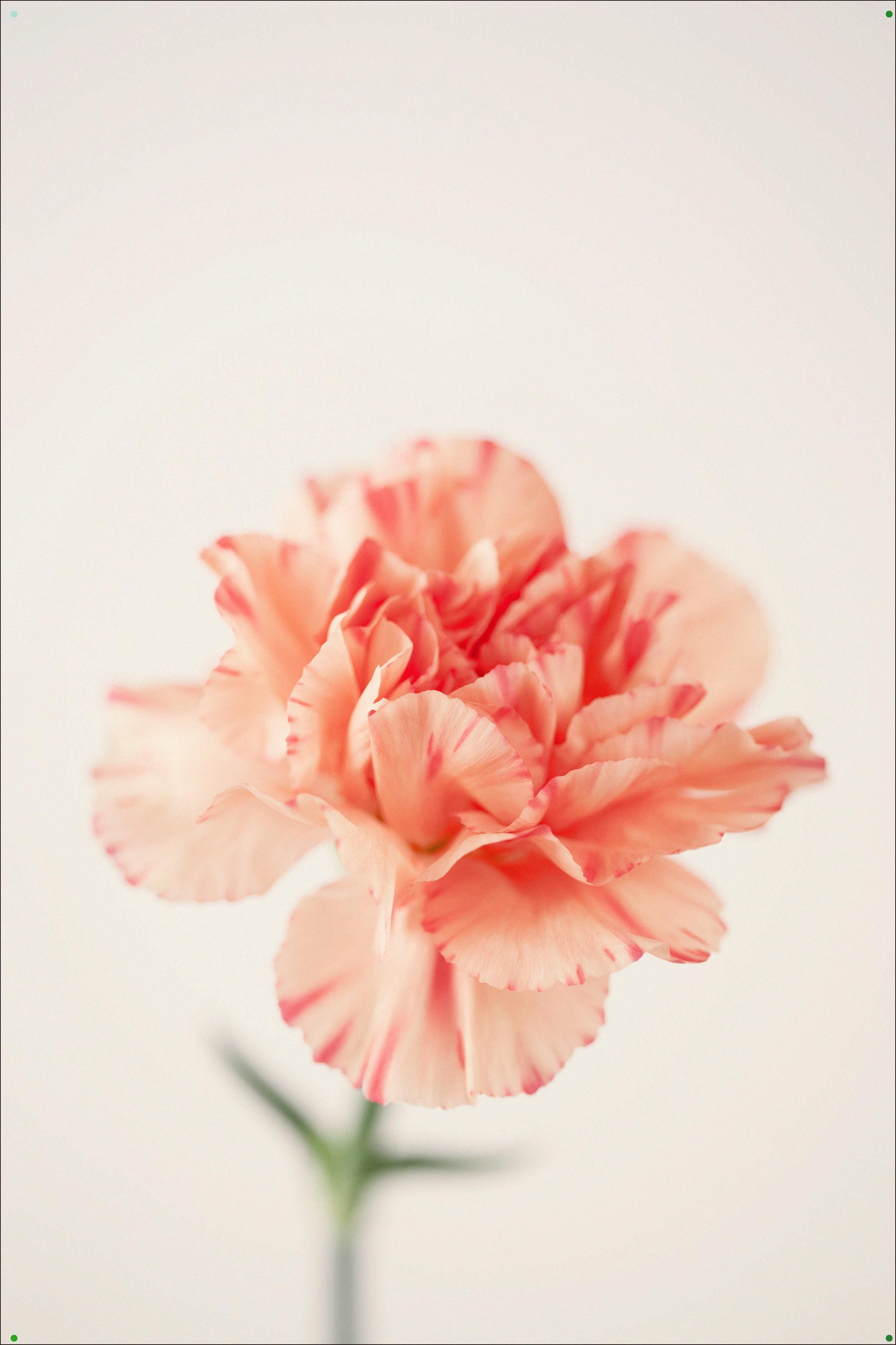 These Ruffly Flowers Don T Have The Best Reputation But If You Love To Give Them Choose White Sweet And Love Carnation Flower Meaning Flower Meanings Flowers