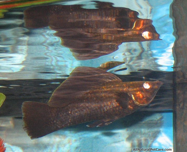 Red eye chocolate sailfin molly fish in our aquarium for Molly fish food