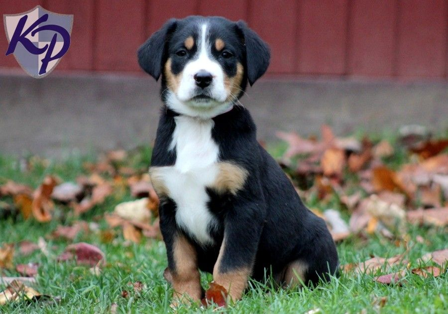 greater swiss mountain dog puppies - 900×631