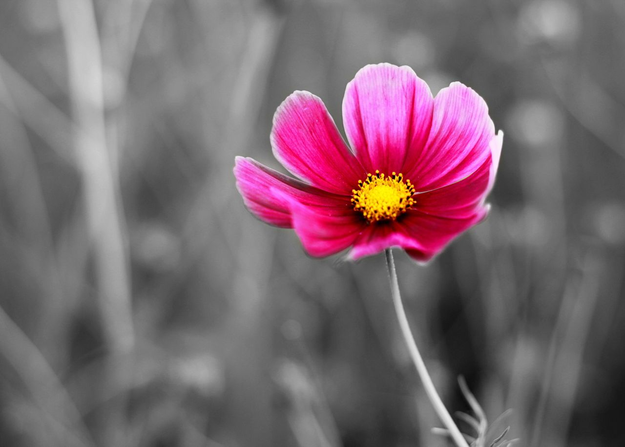 The Real Meaning Of Cosmos Flowers You Wished To Know About Flower Quotes Cosmos Flowers Color Theory