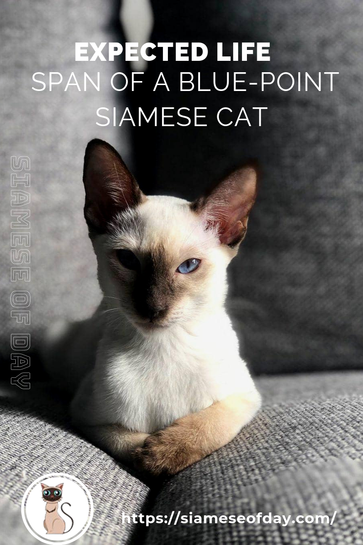 Expected Life Span of a BluePoint Siamese Cat Blue
