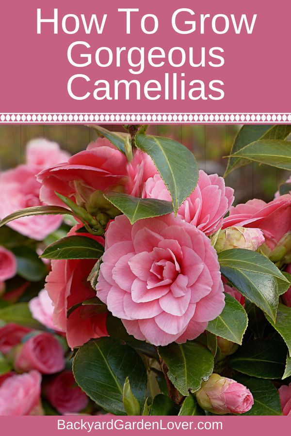 How To Care For Camellias Camellia Japonica Lots Of Gorgeous