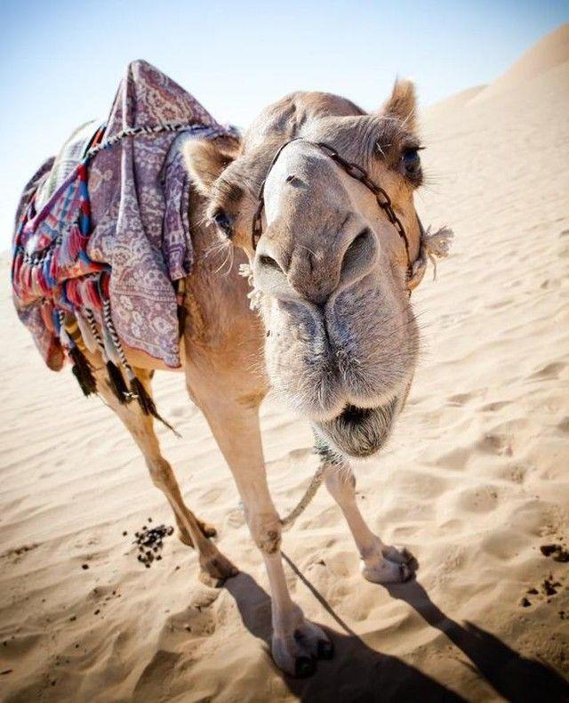 Salut toi 😁🐫      #voyagesdetective 📸✌️     #abudhabi #unitedarabemirates #desert #camel #animals #newfriend #funnyanimals #cute #travel #voyagesdetective #nature #worldbestgram #photography #picoftheday #exploretheworld #adventurer #goplaces #travelholic #seetheworld