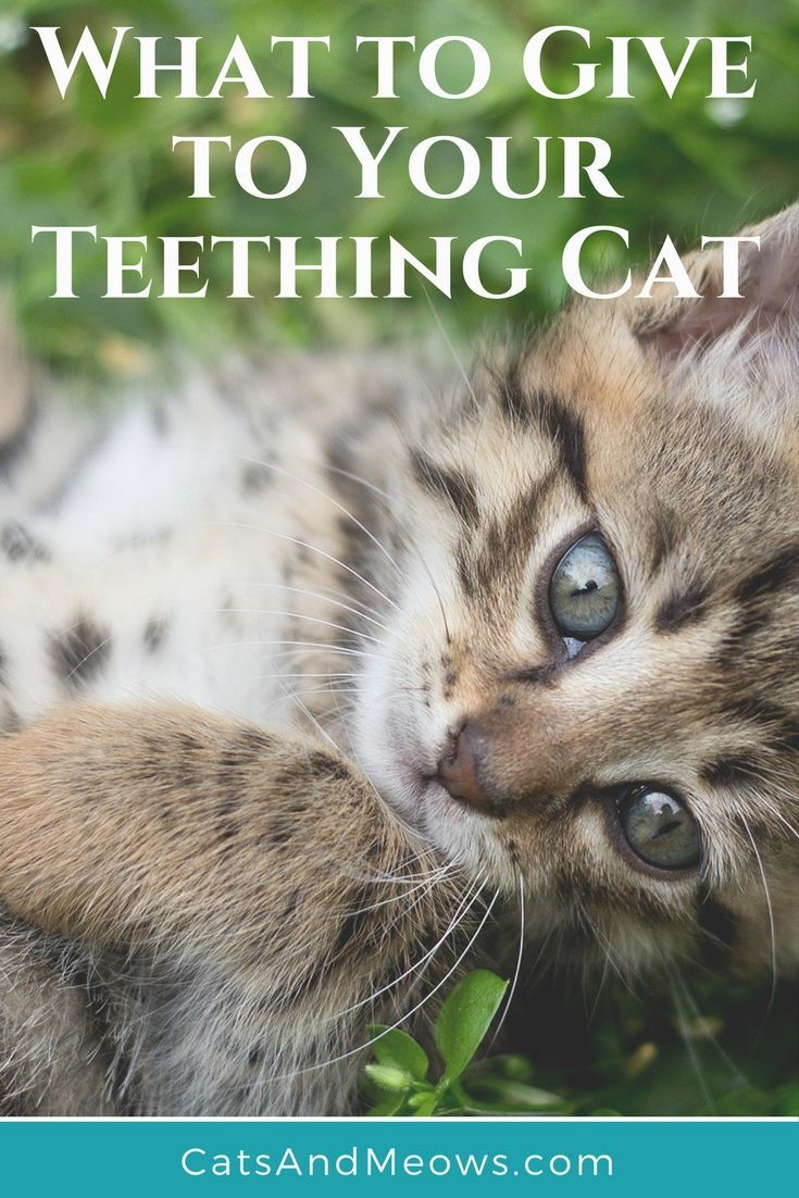 My Cat is Teething, What Do I Give Him? Cats, Kittens