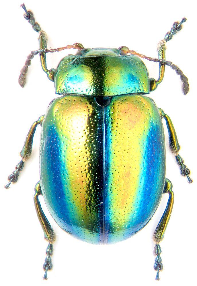 Beetle, Chrysolina fastuosa, K.V. Makarov