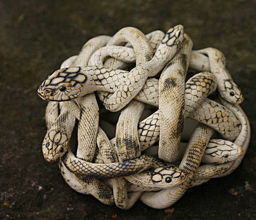 snake button knot make a great geramic brooch for gothic and grimm lovers