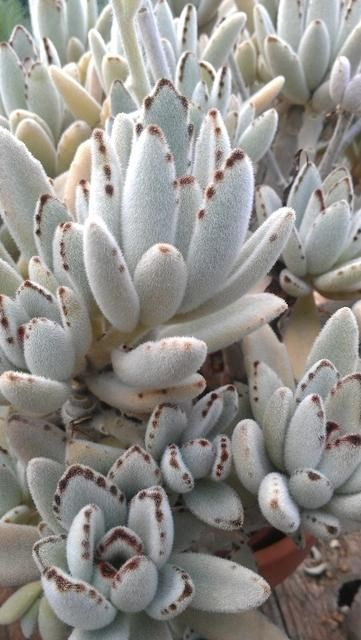 Kalanchoe Tomentosa With Images Succulent Rock Garden