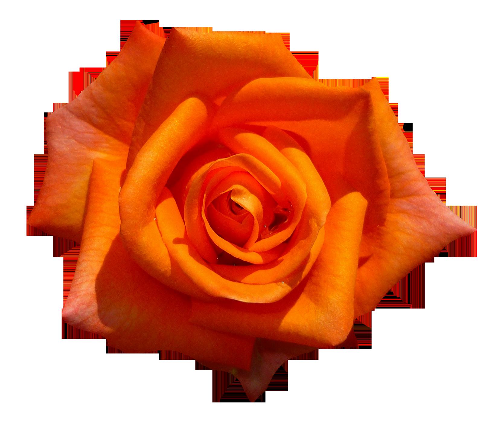 Orange Rose Flower Top View Png Image Rose Flower Png Orange Roses Rose Flower Photos