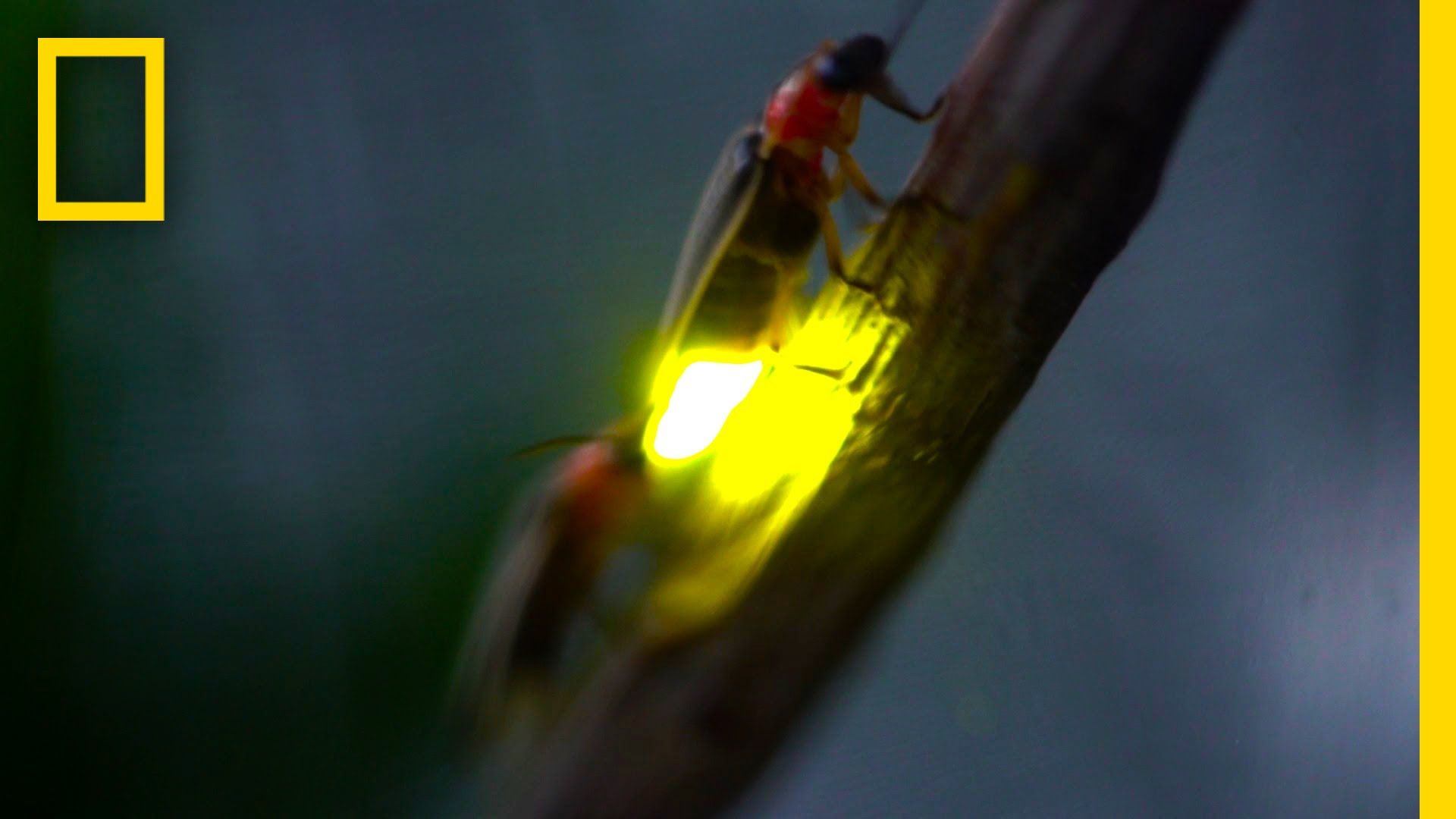 Watch: Fireflies Glowing in Sync to Attract Mates | National ...