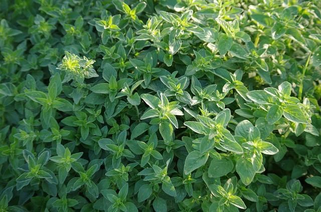 Folha Da Fortuna Beneficios Propriedades E Indicacoes Plantas
