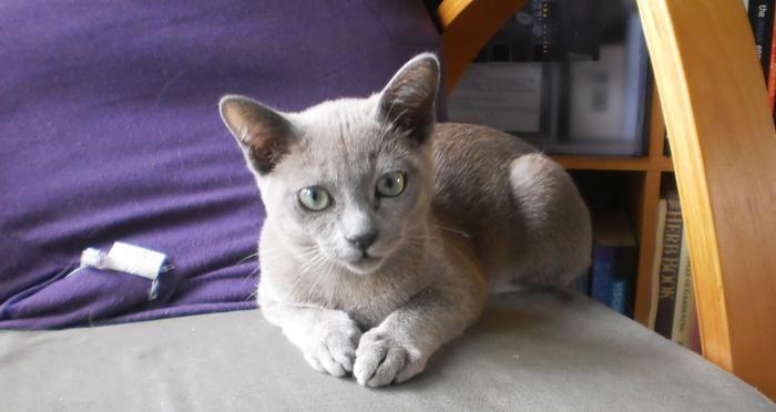 Tonkinese Tonkinese Cat Tonkinese Tonkinese Kittens
