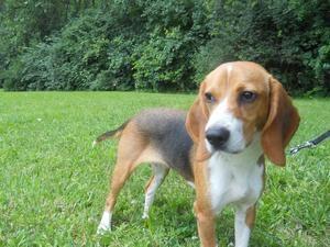 Adopt Hunter On Adopt A Hound Dogs Adoption Animals