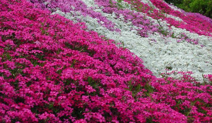 aubrieta culturum rosa bergsteinkraut 302 garten pinterest g rten. Black Bedroom Furniture Sets. Home Design Ideas