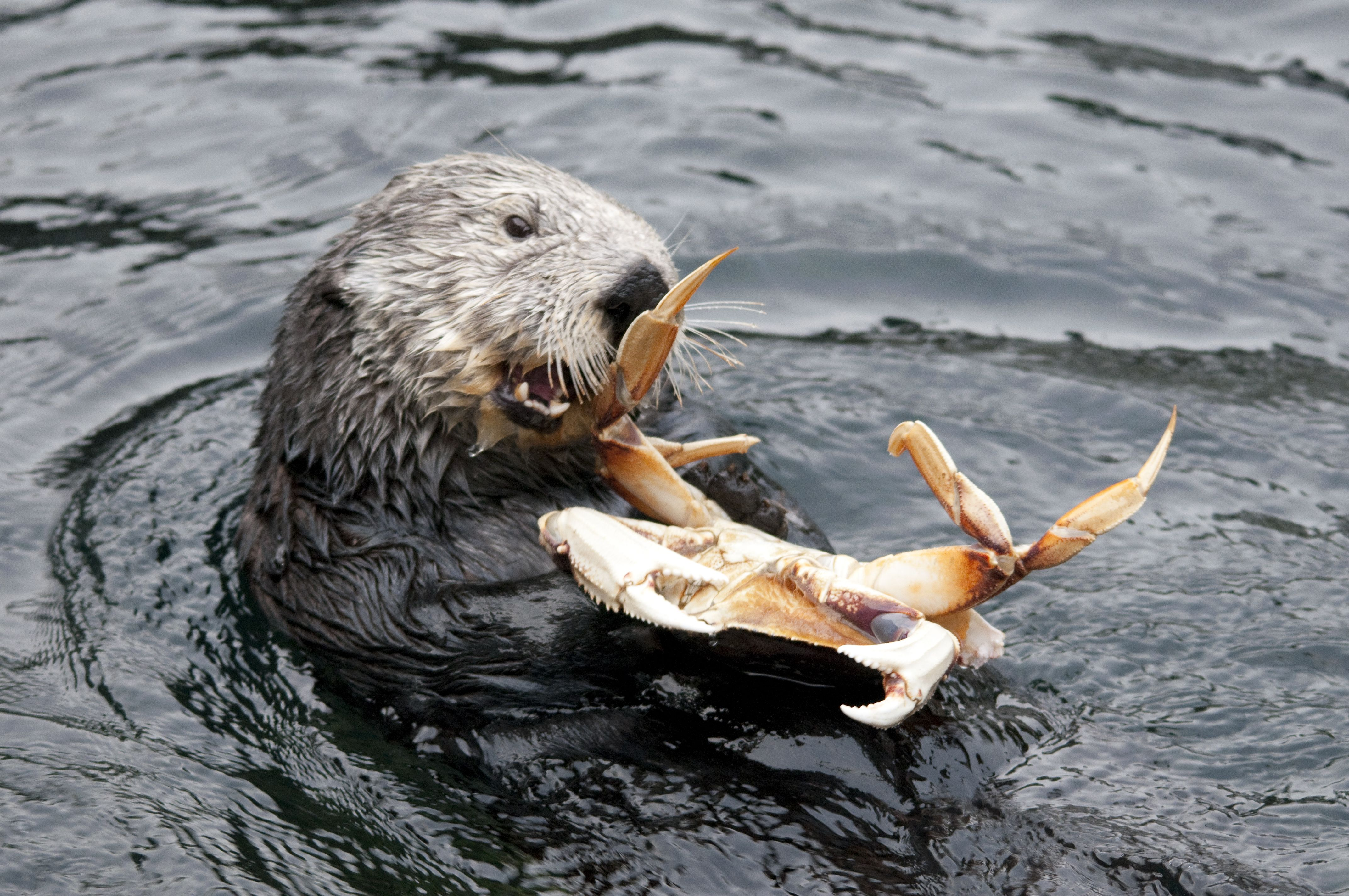 """Résultat de recherche d'images pour """"sea-otters eat"""""""