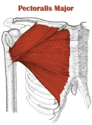 the pectoralis major () (from , breast) is a thick, fan shapedthe pectoralis major () (from , breast) is a thick, fan shaped muscle, situated at the chest (anterior) of the human body description from imgarcade com