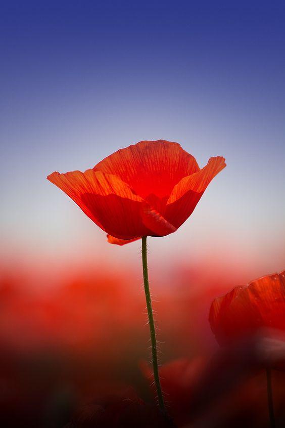Simply Red Poppy By Otto Hutter Works Of Art Pinterest Mohnblume Blumen Und Mohn