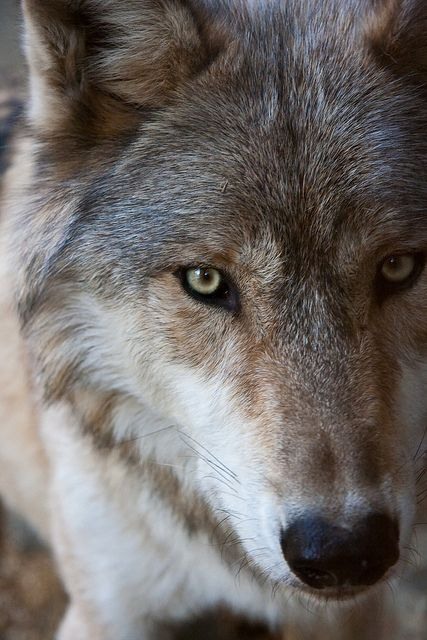 Gray Wolf   Wolf anatomy reference for artists   Pinterest   Gray ...