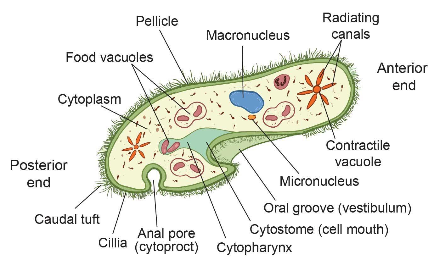 Paramecium In 2020