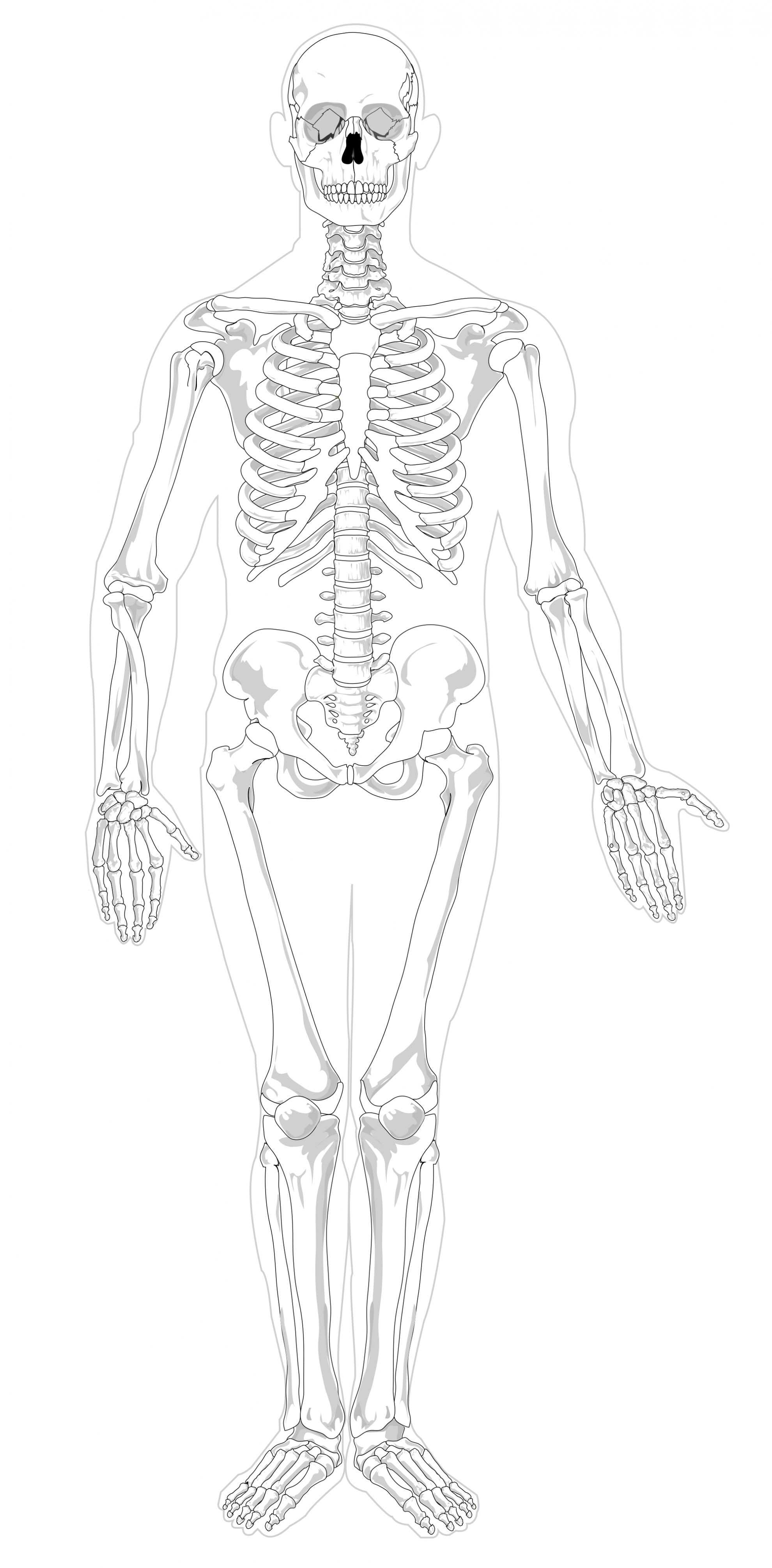 hight resolution of unlabeled diagram of the human skeleton unlabeled diagram of the human skeleton bones of the
