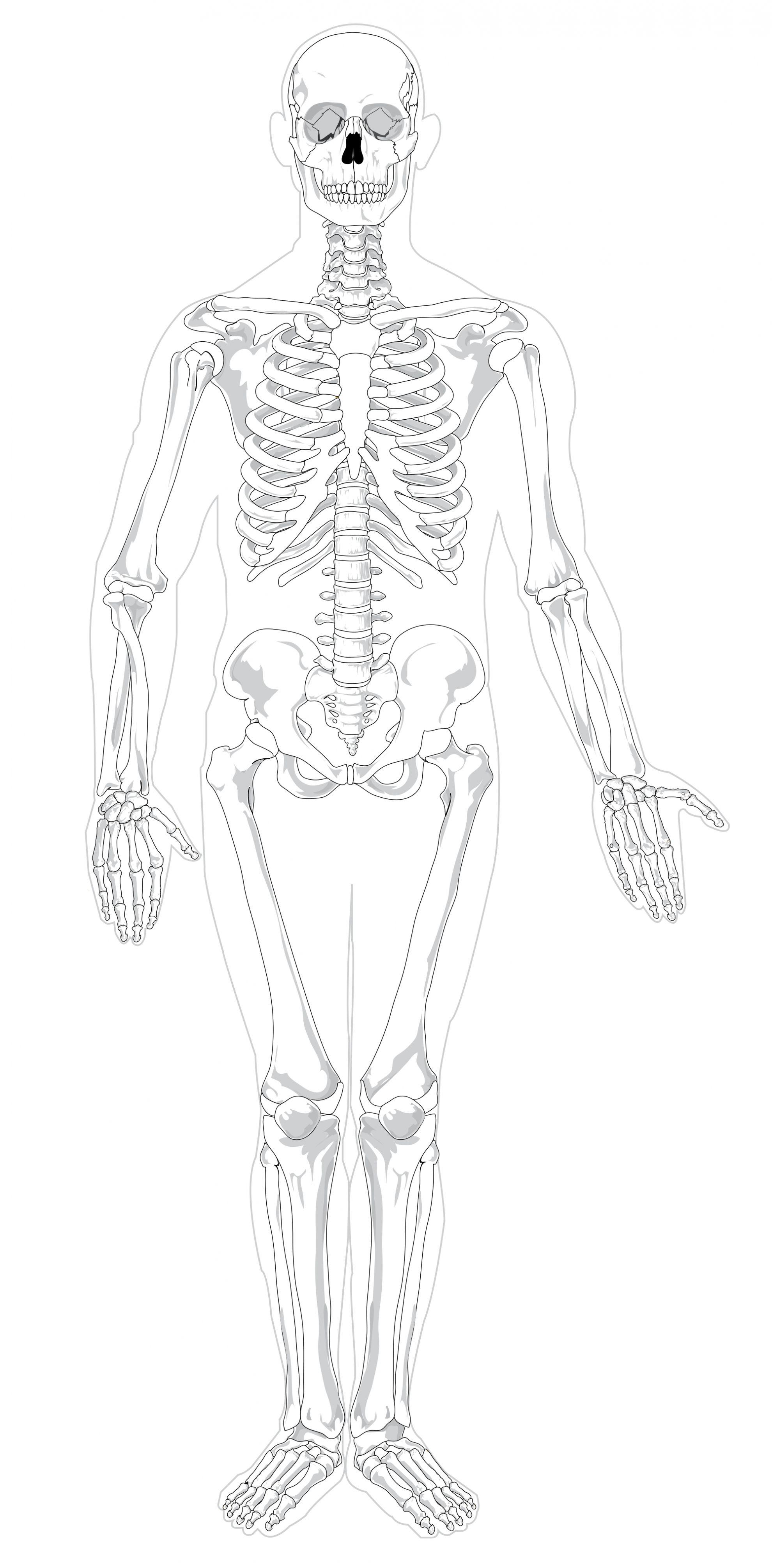 Unlabeled Diagram Of The Human Skeleton Koibana Info Human Skeleton Human Anatomy Drawing Human Skeleton Bones