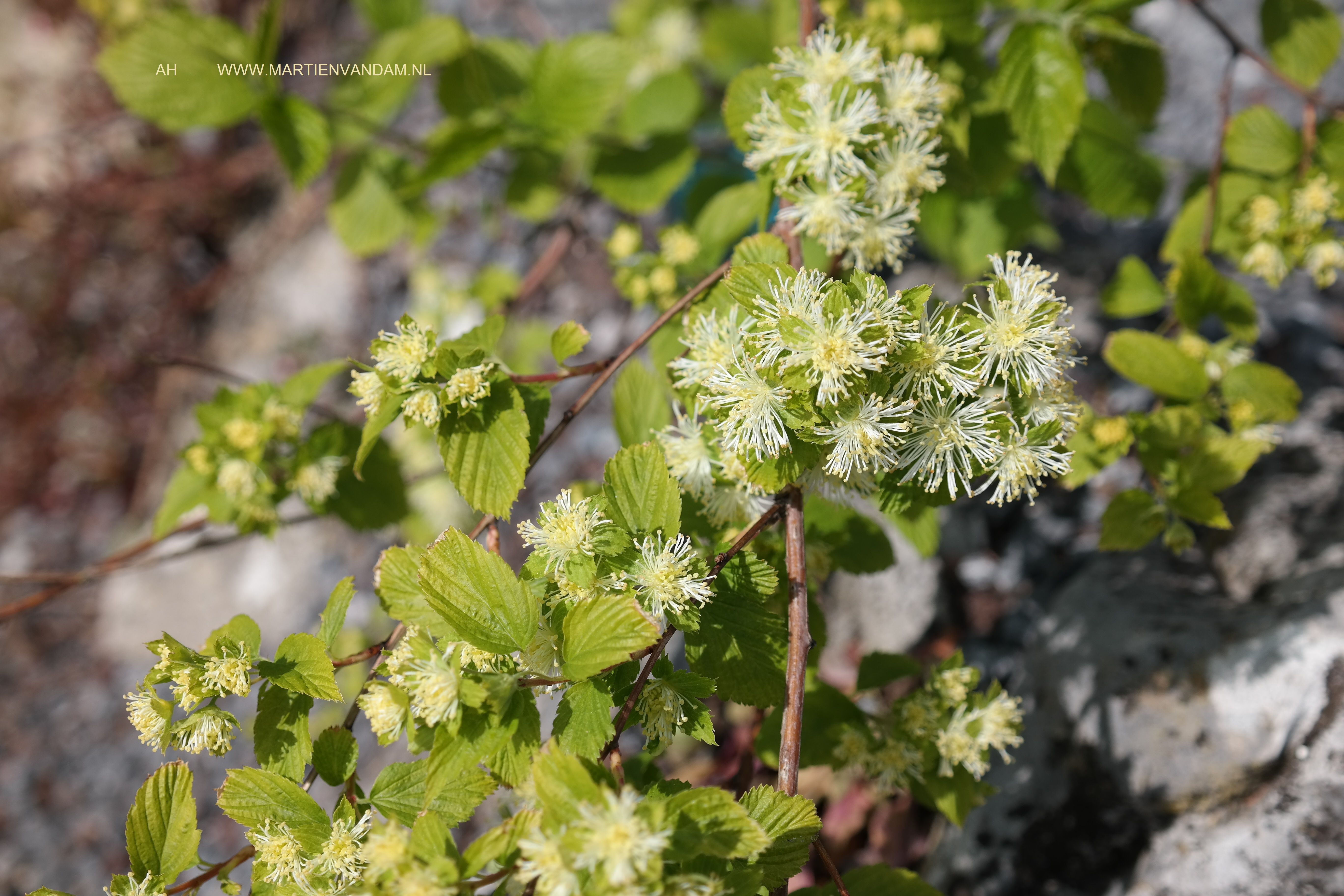 Neviusia alabamensis, het is een zeldzaam stuikje, traaggroeiend dat bloeit juli - september. Foto genomen in Fort Hoofddijk in april(?!) viel mij op door de mooie bloeiwijze.