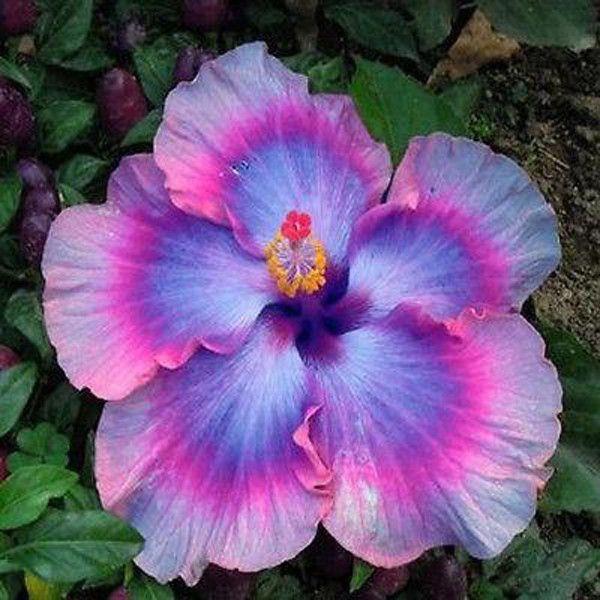 Hibiscus Flower Cartoon Hibiscus Hibiscus Fleurs Hibiscus Fleurs
