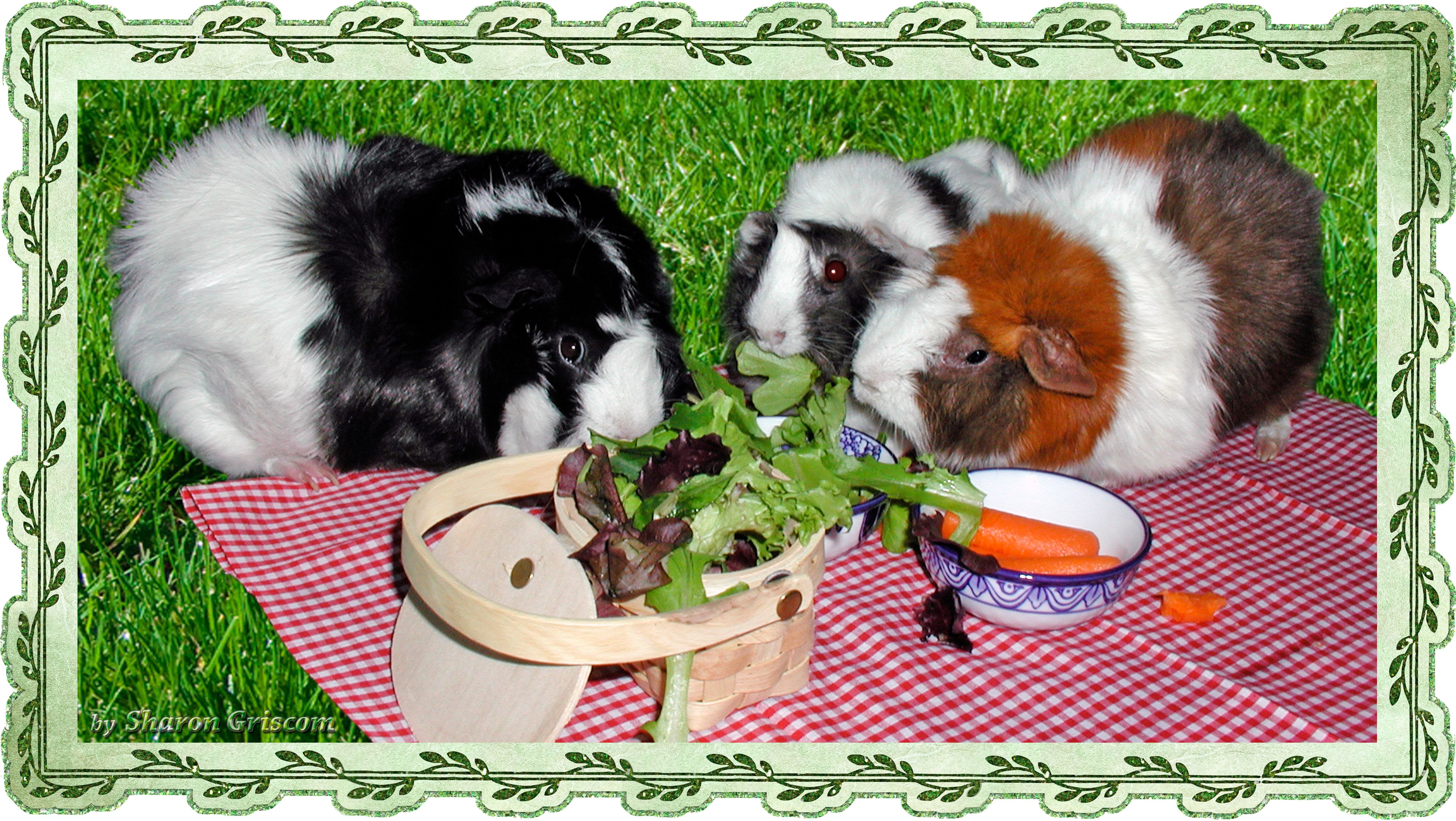guinea pigs Allegra Ruby and Cosey having a picnic