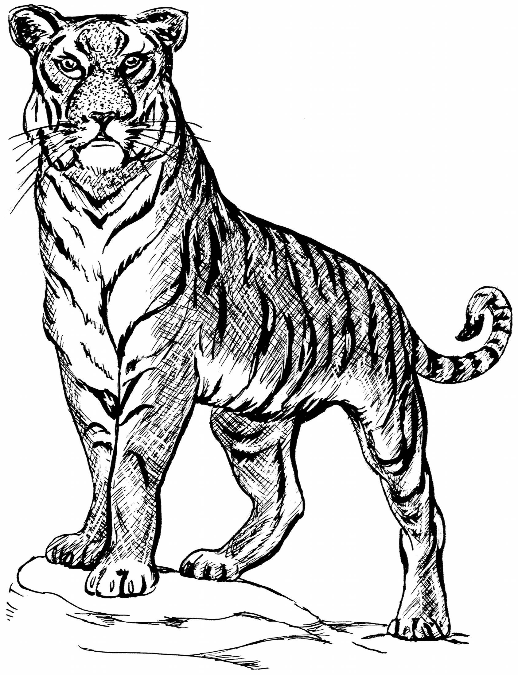 Afbeelding Van Http Www Felinest Com Images Line Drawing 1 Lg Jpg Tiger Illustration Tiger Drawing Animal Drawings