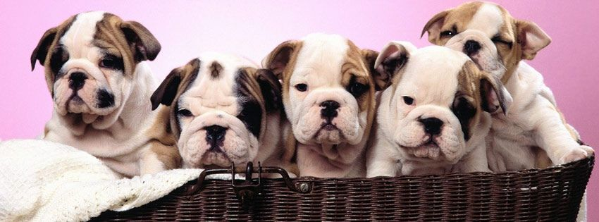 An Awesome Bulldog Puppies Facebook Cover For Your Fb Timeline