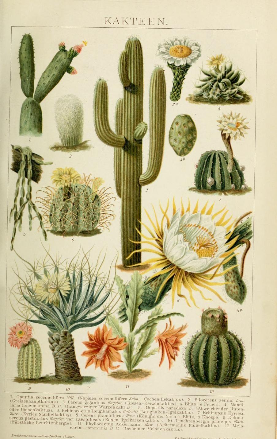 clawmarks Brockhaus' KonversationsLexikon Cactus