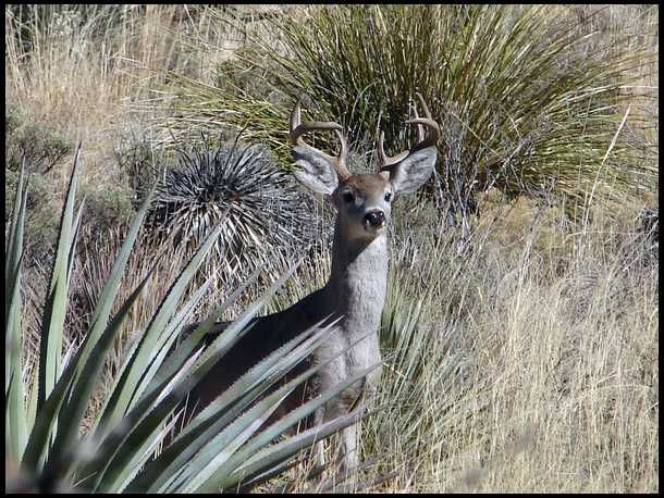 Image result for Coues deer