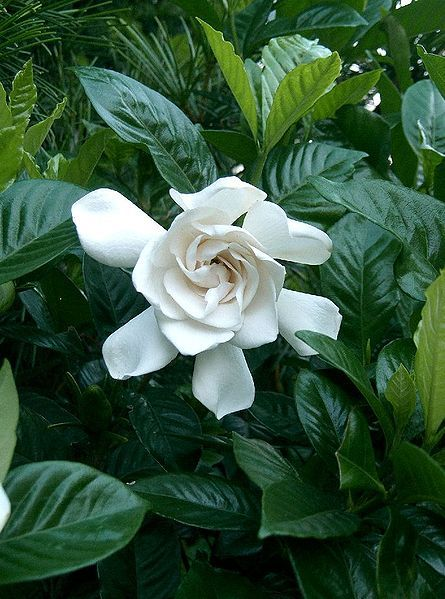 White Scented Flowers On Gardenia Houseplants Makes The Room