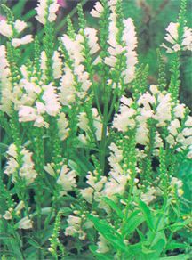 False Dragonhead: A True Delight | Garden Guides  Butterfly Rushing book