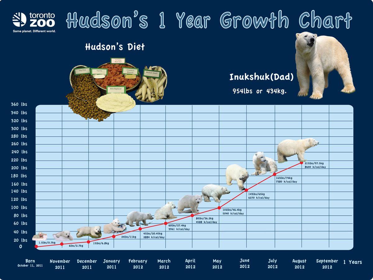 7dd1347b776af586a1342571dbc662d4 toronto zoo polar bear cub polar bear growth chart mind