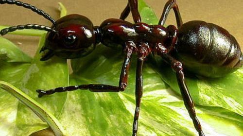 Hormiga gigante real insectos extra os ahuyentar - Plantas ahuyenta insectos ...