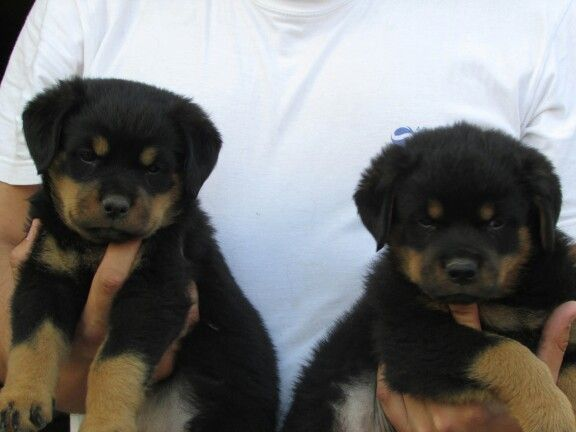 Female 1 Left Male 1 Right Rottweiler Puppies For Sale