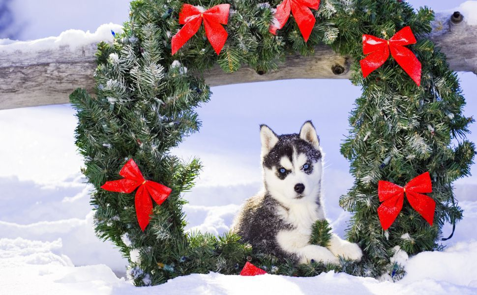 Husky Frases: Christmas Husky HD Wallpaper In 2019