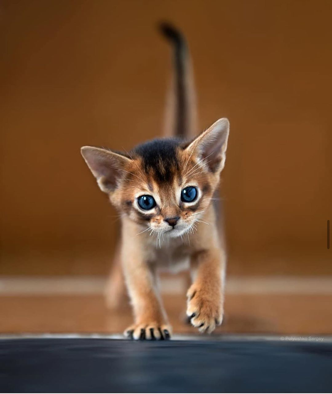 803 Likes 4 Comments Gorgeous Insta Shots Photographerswishes On Instagram Mekong Bobtail Kitten Kitt In 2020 Abyssinian Kittens Animals Cute Animals