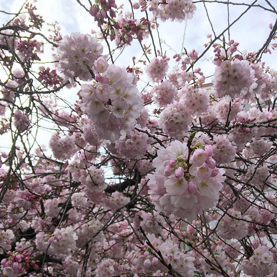 Cherry Blossoms In Vancouver British Columbia Cherry Blossom British Columbia Blossom