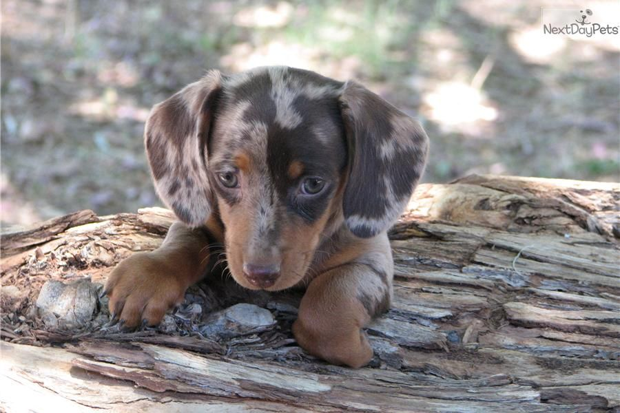 Dachshund Mini For Sale For 1 500 Near Phoenix Arizona
