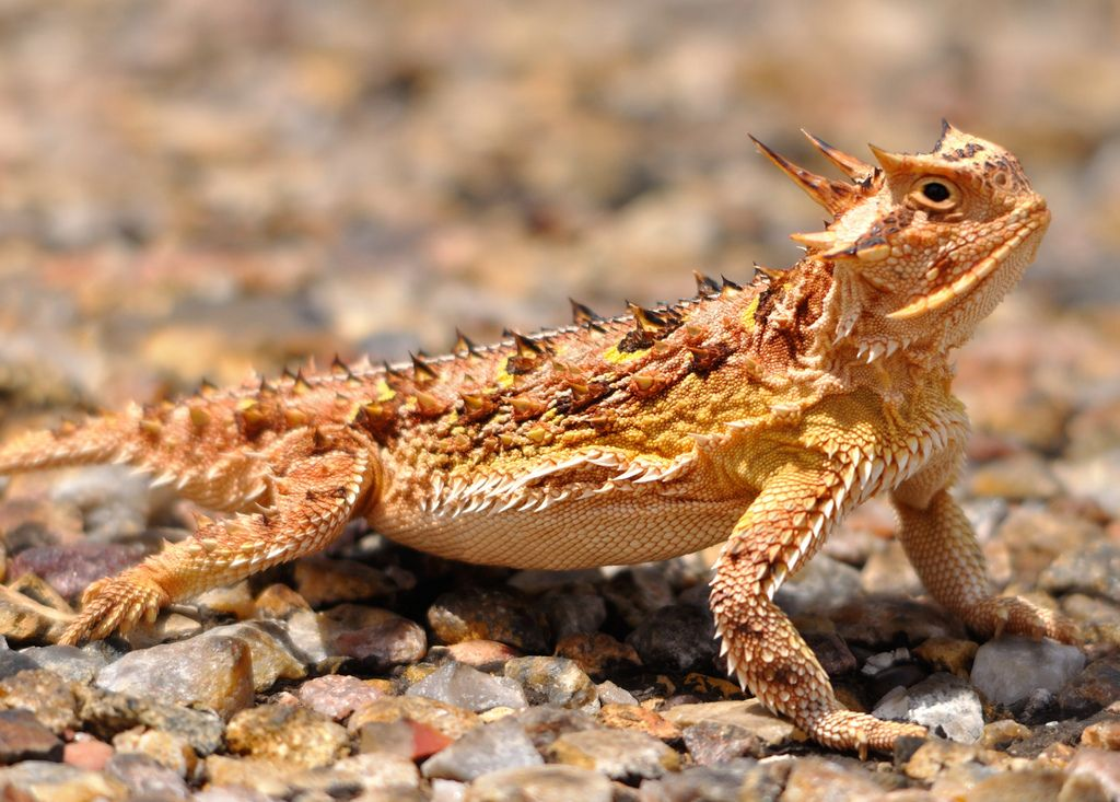 Southern Desert Horned Lizard Phrynosoma Platyrhinos Calidiarum