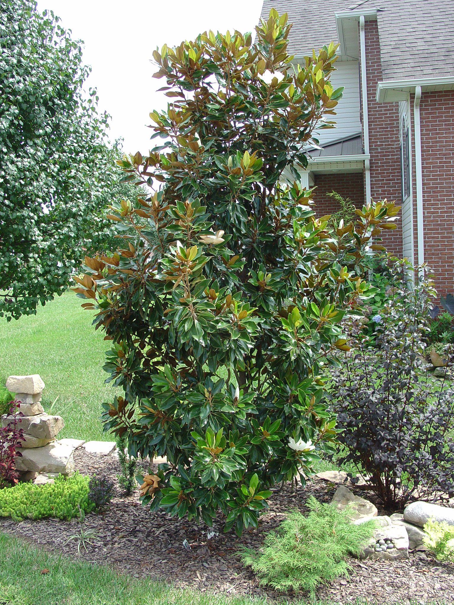 Magnolia Little Gem In Shade Google Search Magnolia Trees Southern Magnolia Tree Evergreen Garden