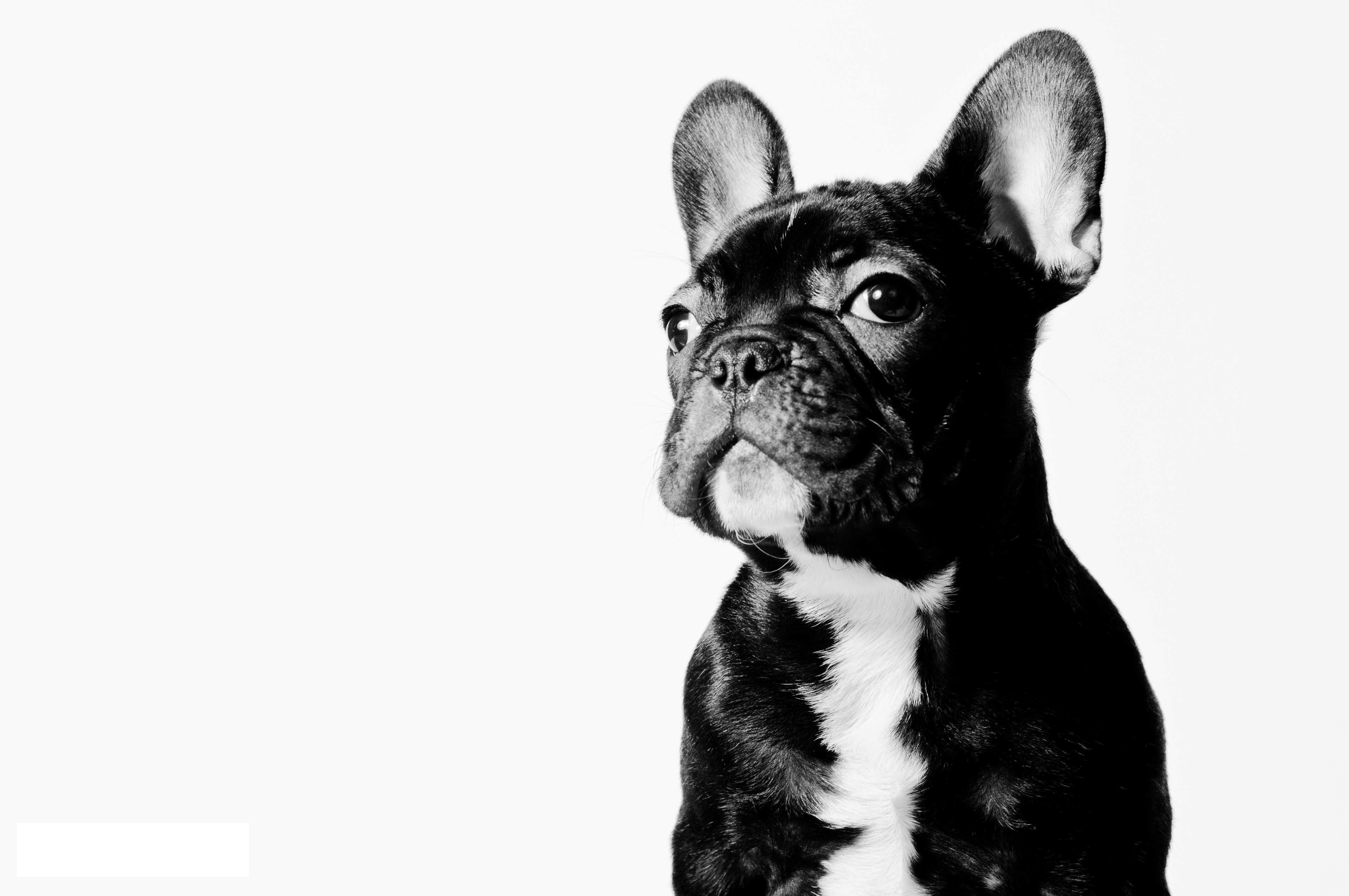Dogs French Bulldog Dog Dogs Bulldogs Puppy Puppies Wallpaper Hd
