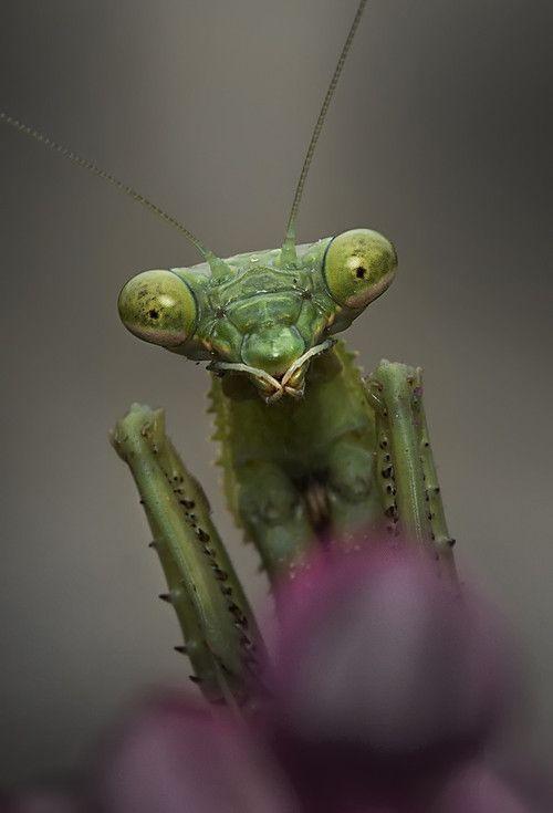 Praying Mantis Praying Mantis Cool Insects Beautiful Bugs