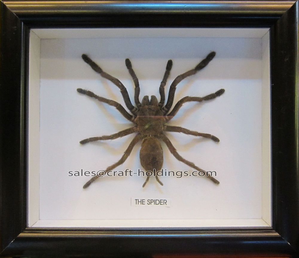 Pin By Olivier Tran On Cool Creatures Spider Giant Spider Taxidermy Bat