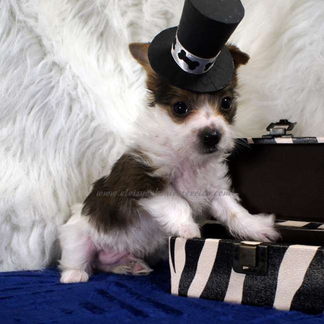 Teacup Parti Yorkie Puppy For Sale In Ironton Mo Yorkie Teacup Yorkie For Sale Yorkies For Sale